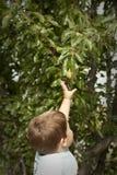 Leuk weinig jongen het plukken fruit van boom Royalty-vrije Stock Afbeeldingen