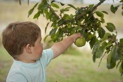 Leuk weinig jongen het plukken fruit van boom Royalty-vrije Stock Foto