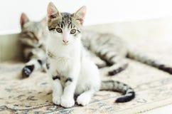 Leuk weinig kattenzitting met zijn moeder op de achtergrond Royalty-vrije Stock Fotografie