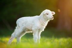Leuk weinig lam op verse groene weide stock fotografie