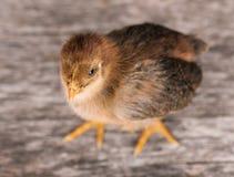 Leuk weinig pasgeboren kip stock afbeelding