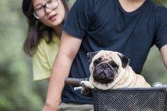 Leuk weinig pug hond in de mand van fiets stock fotografie
