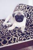 Leuk weinig pug puppyverticaal royalty-vrije stock foto's