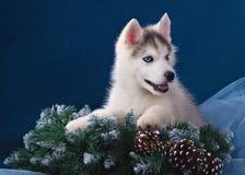 Leuk weinig puppy van syberian schor Stock Afbeelding