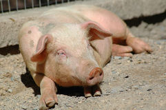 Leuk weinig varken Stock Fotografie