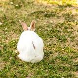 Leuk weinig witte cuniculuszitting van konijnoryctolagus op het groene gras royalty-vrije stock afbeelding