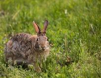 Leuk wild konijntjeskonijn die gras eten Royalty-vrije Stock Afbeelding
