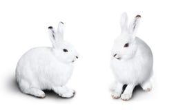 Leuk wit konijn twee Royalty-vrije Stock Foto's