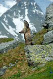 Leuk zit omhoog op zijn achterste benen dierlijke Marmot, Marmota-marmota, zittend in bedekt hij, in de aardhabitat, Grossglockne stock foto