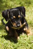 Leuk zwart en tan puppy met flopporen royalty-vrije stock foto