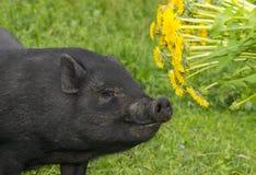 Leuk zwart Vietnamees varken stock afbeeldingen