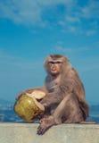 Leuke aap die kokosnoot eten stock foto