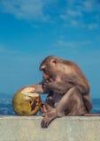 Leuke aap die kokosnoot eten royalty-vrije stock afbeelding