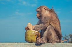 Leuke aap die kokosnoot eten stock afbeeldingen