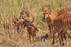 Leuke Afrikaanse Antilope royalty-vrije stock afbeeldingen