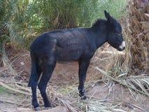 Leuke alleen zwarte ezel tussen palmen in Marokko Stock Afbeeldingen
