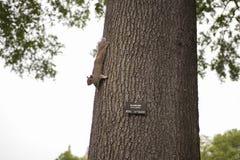 Leuke Amerikaanse rode eekhoorn Royalty-vrije Stock Foto's