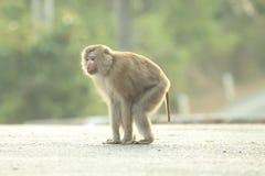 Leuke apen Royalty-vrije Stock Afbeeldingen