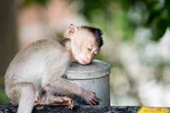 Leuke apen Royalty-vrije Stock Afbeelding