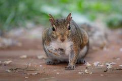 Leuke baby bruine eekhoorn op het houten dek royalty-vrije stock afbeeldingen