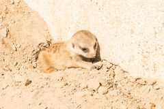 Leuke baby die meerkat liggen Royalty-vrije Stock Afbeeldingen