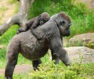 Leuke baby en moedergorilla royalty-vrije stock foto