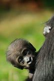Leuke babygorilla royalty-vrije stock foto's