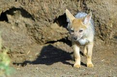 Leuke babyjakhals die zich alleen buiten zijn hol in Msai Mara, Kenia bevinden Stock Fotografie