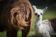 Leuke Babylama met Zijn Moeder Royalty-vrije Stock Foto's