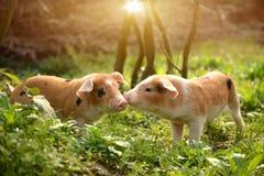 Leuke biggetjes die met elkaar in het boerenerf spelen Stock Foto