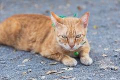 Leuke binnenlandse kat die op gronden liggen Thaise oranje en witte kat stock foto's