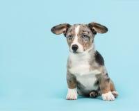 Leuke blauwe het puppyzitting van merle Welse corgi op een blauwe achtergrond Stock Foto