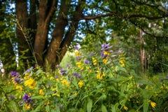 Leuke bloemen van koe-tarwe Melampyrum-nemorosum bij de voet van een grote boom royalty-vrije stock foto's