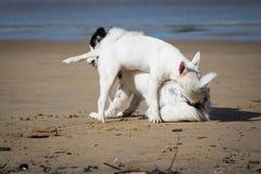 Leuke border collie en bull terrier-honden die op zandig geïsoleerd strand spelen, Stock Afbeelding