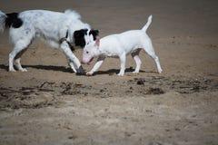 Leuke border collie en bull terrier-honden die op zandig geïsoleerd strand spelen, Stock Foto's