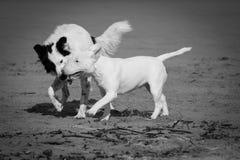 Leuke border collie en bull terrier-honden die op zandig die strand spelen, in zwart-wit wordt geïsoleerd Stock Foto's