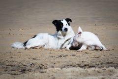 Leuke border collie en bull terrier-honden die op zandig die strand spelen, in zwart-wit wordt geïsoleerd Royalty-vrije Stock Afbeeldingen