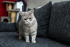 Leuke Britse kat op de bank royalty-vrije stock afbeeldingen
