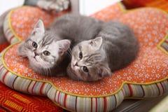 Leuke Britse Shorthair-katjes die hierboven eruit zien Royalty-vrije Stock Foto's