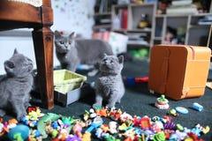 Leuke Britse Shorthair-katjes onder speelgoed Royalty-vrije Stock Foto's