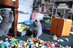 Leuke Britse Shorthair-katjes onder speelgoed Stock Afbeelding