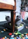 Leuke Britse Shorthair-katjes onder speelgoed Royalty-vrije Stock Fotografie