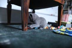 Leuke Britse Shorthair-katjesspelen met speelgoed Stock Fotografie
