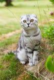 Leuke Britse vouwenkat, grijze whithstrepen, met oranje ogen, die in yard zitten Concepten zeldzame huisdieren Close-up royalty-vrije stock afbeelding