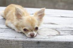 Leuke bruine Chihuahua-hond Stock Afbeelding