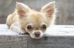 Leuke bruine Chihuahua-hond Royalty-vrije Stock Foto's