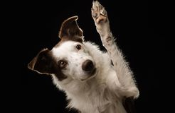 Leuke bruine en witte Border collie-hondgolven en hoge fives bij de camera met een zwarte achtergrond stock foto's
