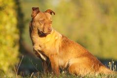Leuke bruine hond openlucht stock afbeeldingen