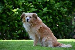 Leuke bruine hond in openlucht, huisdier Stock Foto