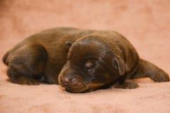 Leuke bruine Nieuw - geboren puppyslaap Royalty-vrije Stock Afbeelding